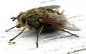 picture of flies