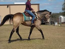 buckskin horse for sale