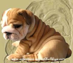 miniature english bulldog puppies for sale