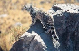 andes mountain cat