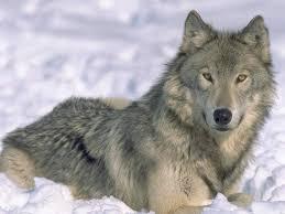 photos wolves