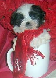 shih tzu maltese mix puppies