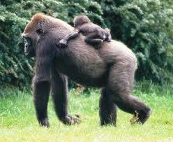 gorilla images