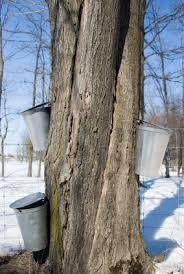 maple tapping