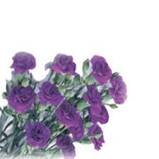 moonshadow carnations