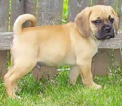 pug cross breeds