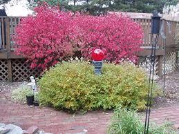 dwarf burning bushes