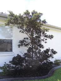 japanese blueberry tree picture