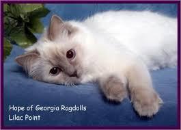 lilac point ragdoll
