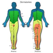 dermatomes images