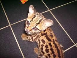 toy tiger cat