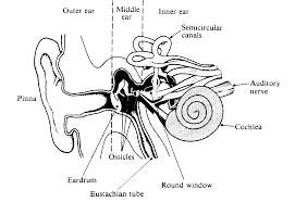 human ear diagram