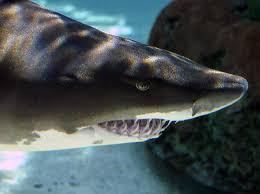 gray nurse sharks