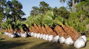cold tolerant palms