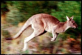jump kangaroo