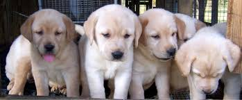 golden labrador puppy for sale