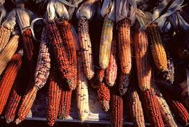 pictures of indian corn