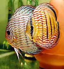 discus tropical fish