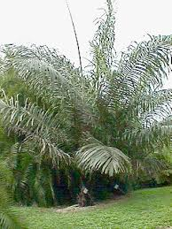 arenga palm