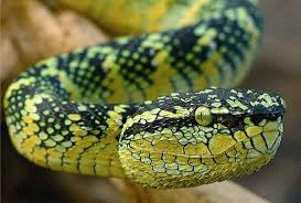 pitvipers
