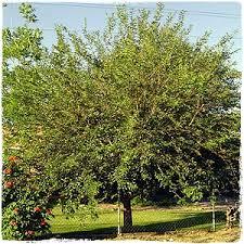 mulberries tree