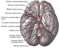 arteries in the brain