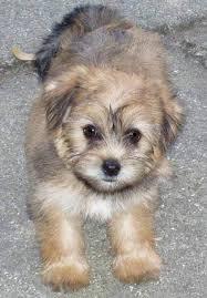 maltese yorkie dogs