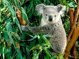 koala bear wallpaper