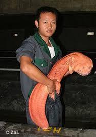 endangered salamanders
