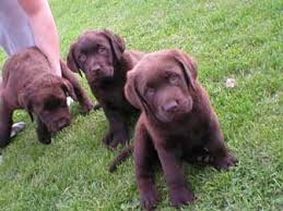 newfoundland pups