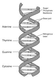 picture of dna structure