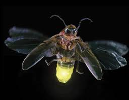 fireflies insects