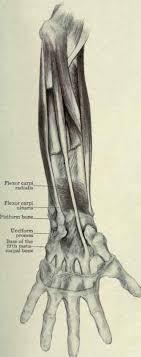 flexor muscle