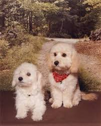 poodle hybrid puppies