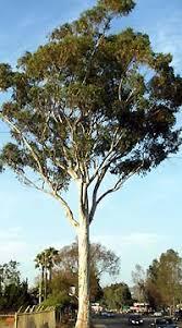 eucalyptus cladocalyx