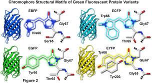 fluorescent protein
