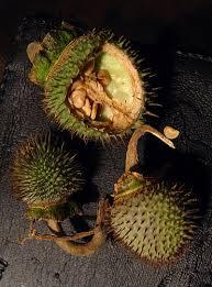 datura inoxia seeds