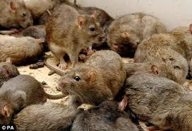 rat infestations