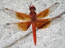 orange dragonflies