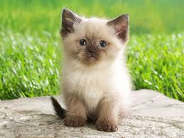 persian kitten wallpaper