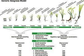 seagrass species