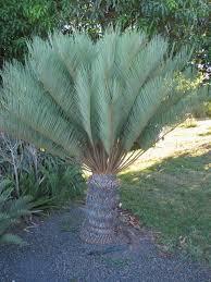 cycas angulata
