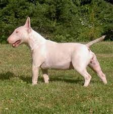 miniature bull terrier pictures