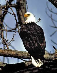 pictures of the american bald eagle