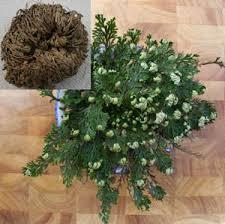 resurrection plants