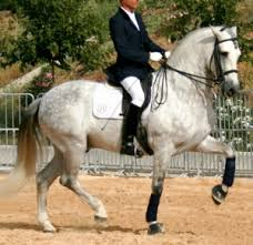 dressage stallions