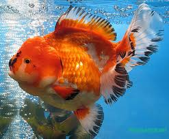 fancy goldfish types