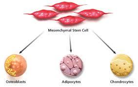 mesenchymal stem cells