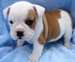 bulldog puppy wallpapers