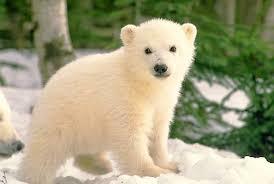 cub bear